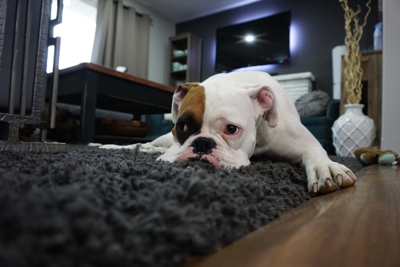 bulldog on a grey carpet