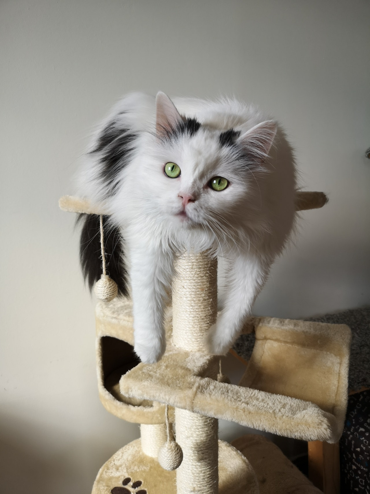 Fluffy cat lounging on a cat tree